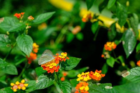 lantana: Butterfly feeding on lantana flower in a summer garden