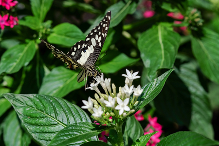 Graphim agamemnon butterfly in a garden