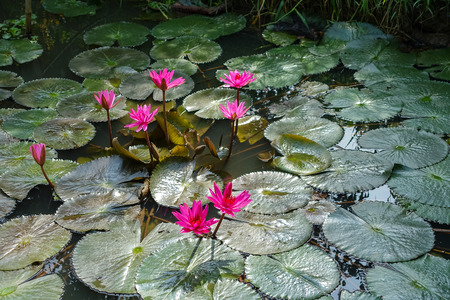 waterlillies: Beautiful waterlily or lotus flower in the pond Stock Photo