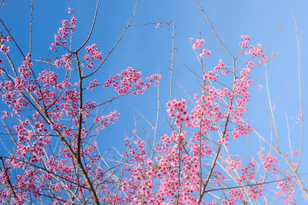 Cherry blossom sakura (Prunus Cesacoides, Wild Himalayan Cherry) in springtime. Cherry blossom sakura (Prunus Cesacoides, Wild Himalayan Cherry) with sun light Stock Photo