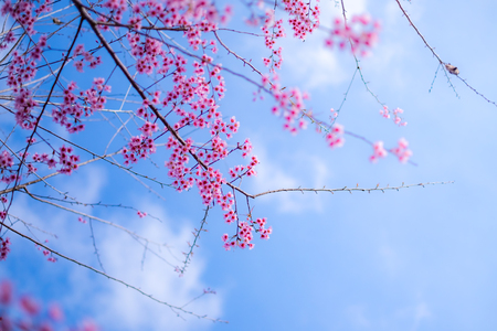 Cherry blossom sakura (Prunus Cesacoides, Wild Himalayan Cherry) in spring time. It is a flower symbol in DaLat which blooms in the first months welcome spring