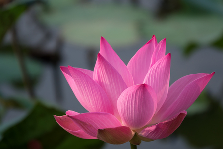 Pink lotus flower royalty free stock photo beautiful pink lotus pink lotus flower royalty free stock photo beautiful pink lotus flower pink lotus mightylinksfo