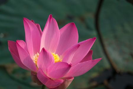 Pink lotus flower royalty free stock photo beautiful pink lotus pink lotus flower royalty free stock photo beautiful pink lotus flower pink lotus mightylinksfo