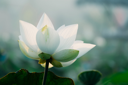 Royalty high quality free stock image of a lotus flower the stock royalty high quality free stock image of a lotus flower the background is the lotus mightylinksfo