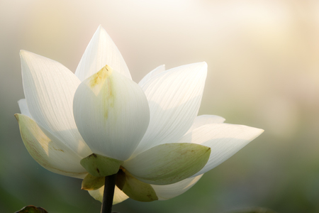 Royalty high quality free stock image of a lotus flower. The background is the lotus leaf and pink lotus flowers and lotus bud in a pond. Beautiful sunlight and sunshine in the morning
