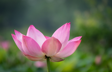 Pink lotus flower. Royalty high quality free stock image of a beautiful pink lotus flower. The background is the pink lotus flowers and yellow lotus bud in a pond. Peace scene in a countryside Stock Photo