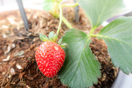 Hydroponic strawberry farm. Hydroponics method of growing plants, in water, without soil. Hydroponic lettuces in hydroponic pipe Stock Photo
