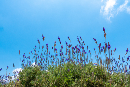 Beautiful lavender flower field. Stock photo of lavender flowers field in sunny day. Cau Dat farm, Dalat, Vietnam Stock Photo