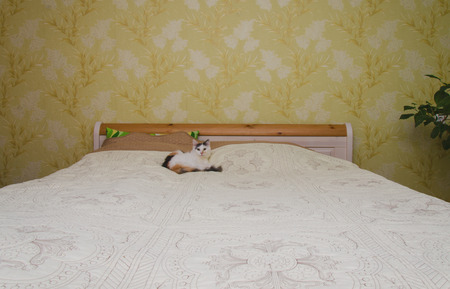 calico whiskers: cat on the big bed in the home Stock Photo