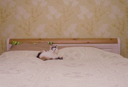 calico whiskers: White cat on the bed in home