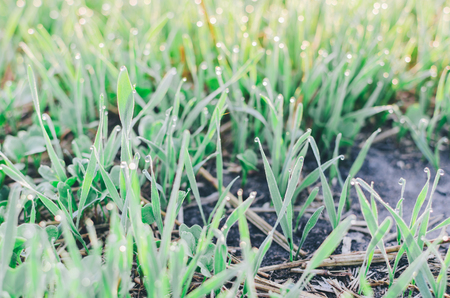 Green summer grass on field in morning time