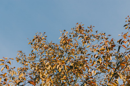 Tree with orange leafs and blue sky in autumn time Stockfoto