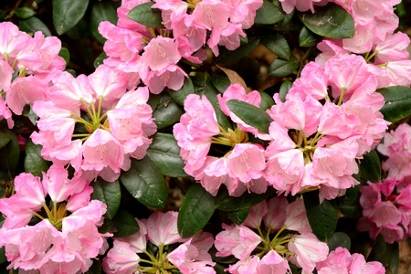 maiden: Rhododendron Mist Maiden flowers and leaves close up Stock Photo