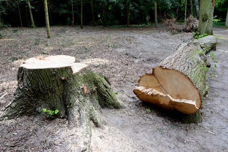 recently: Stump and trunk of recently cut down tree in the forest