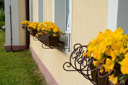 plant pots: Yellow flowers in plant pots on windowsills.