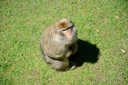 barbary: Barbary Ape sitting on grass