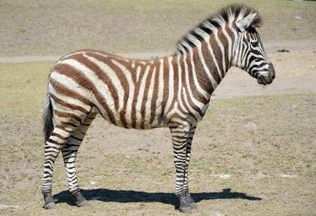 brown stripe: Standing brown stripe zebra. Stock Photo