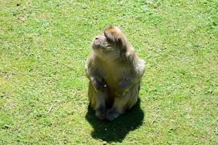 barbary ape: Barbary Ape sitting on grass
