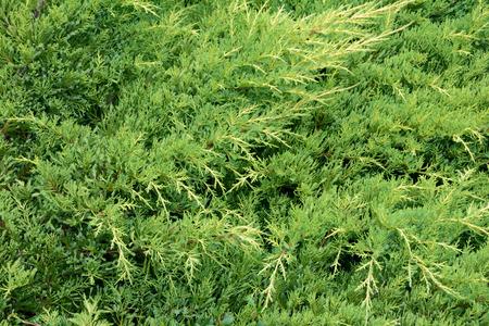 creeping: Green creeping juniper branches - background Stock Photo