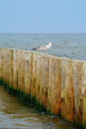 groyne: Wooden groyne and seagull sitting on it.