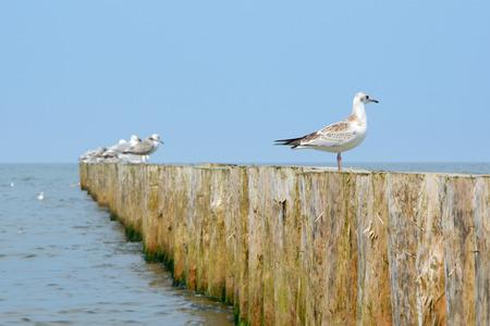 groyne: Wooden groyne and seagulls sitting on it.