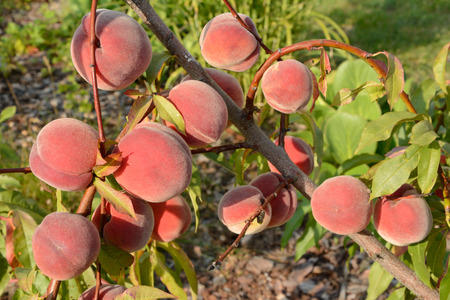 harvest organic: Sweet peach fruits hanging on a tree branch.