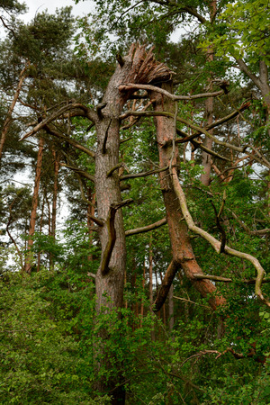 toppled: Photo of tree broken in half height in the forest