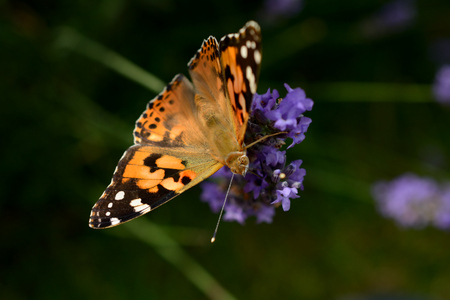 io: Butterfly on violet lavender flower. Shallow depth of field.
