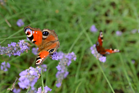 gonepteryx: Butterflys on violet lavender flower. Shallow depth of field.