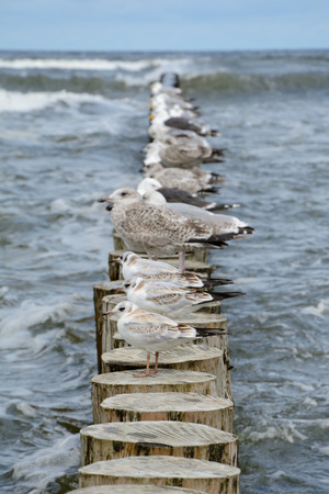 palisade: Seagulls standing on wooden palisade at baltic sea. Shallow depth of field.