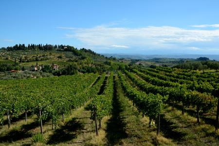 Vineyard in Tuscany nearby San Gimignano city, Italy.