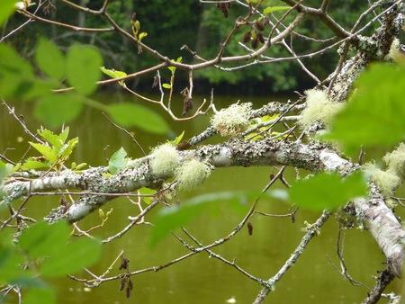 Lichen on a twig