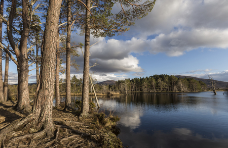 scots pine: Scots Pine on Loch Mallachie in the Cairngorms National Park. of Scotland.