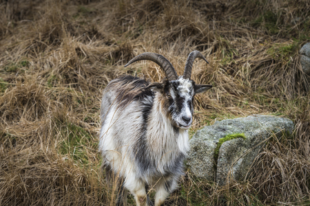 hircus: Wild Goats in the Galloway Forest Park in Scotland.