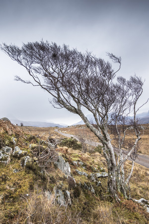 Stunted tree on the road to Achiltibuie in the Highlands of Scotland. Stock Photo