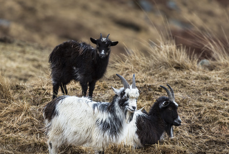 wild goat: Goats at the Wild Goat Park in Galloway Forest Park of Scotland.