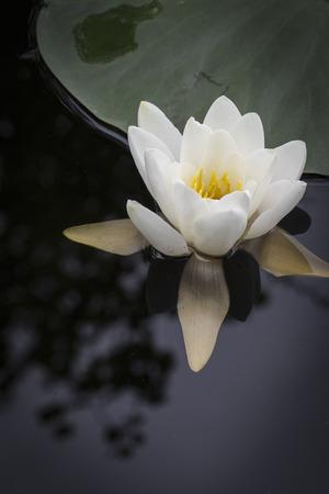 strathspey: Water lilies at Loch Garten in the Cairngorms National Park of Scotland.