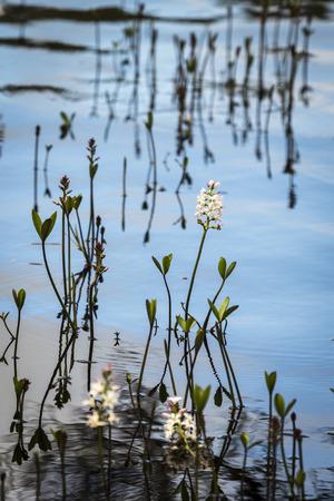 strathspey: Menyanthes trifoliata or Bog Bean on Loch Garten. Stock Photo