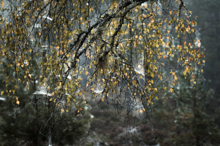 strathspey: Birch trees and webs at Abernethy forest in Scotland.