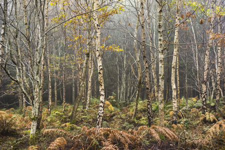 Silver Birch (Betula pendula) in Highland Forest , Scotland. Фото со стока