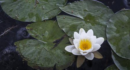 strathspey: Water lilies at Loch Garten in Scotland.