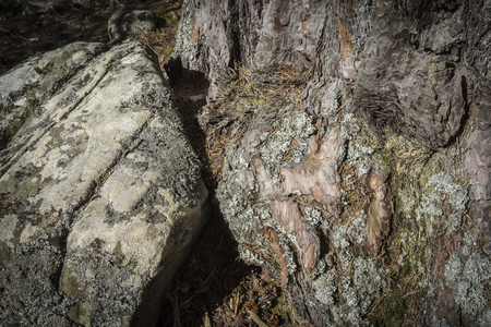 scots pine: Rock and Scots Pine Bark in the Cairngorms National Park of Scotland.