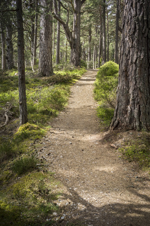 strathspey: Abernethy Forest path in the Cairngorms National Park of Scotland.