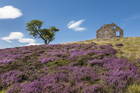 Heather & croft ruins on the Cairn O Mount in Aberdeenshire, Scotland.