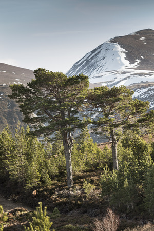 scots pine: Scots Pine and the Cairngorm in Scotland. Stock Photo