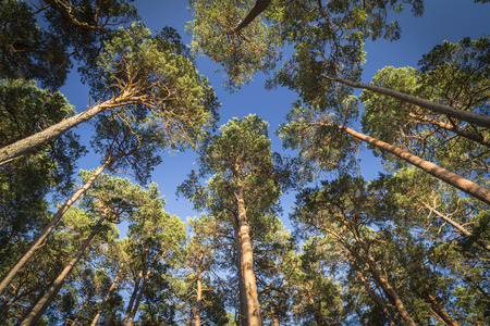 scots pine: Scots pine canopy at Abernethy forest in Scotland.