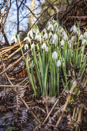 angus: Snowdrops (Galanthus nivalis) at Glamis in Angus, Scotland.
