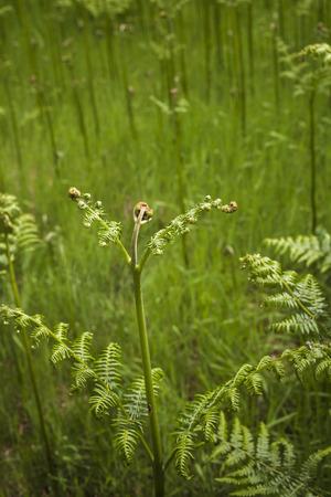 Pteridium aquilinum (Bracken) in Crathes Forest , Scotland.