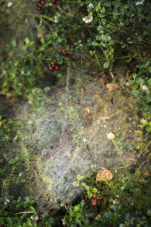 strathspey: Highland nature with berries and web in Scotland.