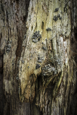 strathspey: Decaying Scots Pine trunk in Caledonian Forest in Scotland.